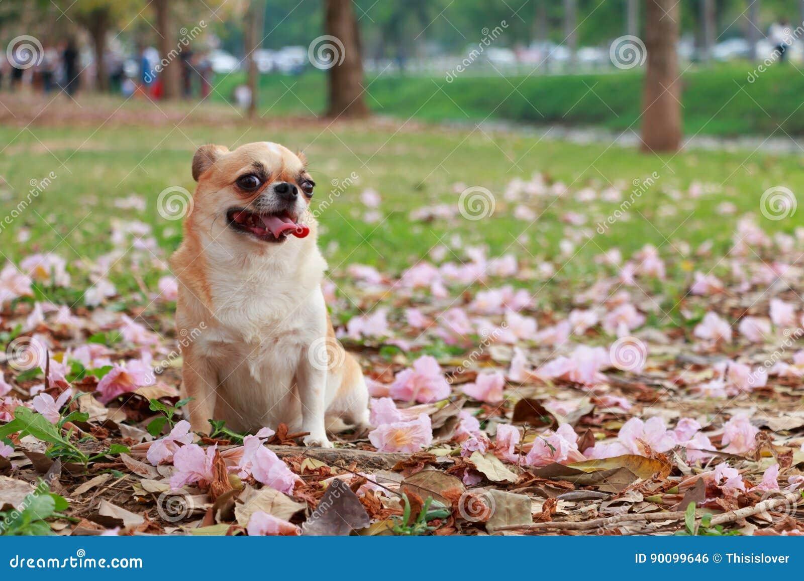 Chiwawa, petit chien
