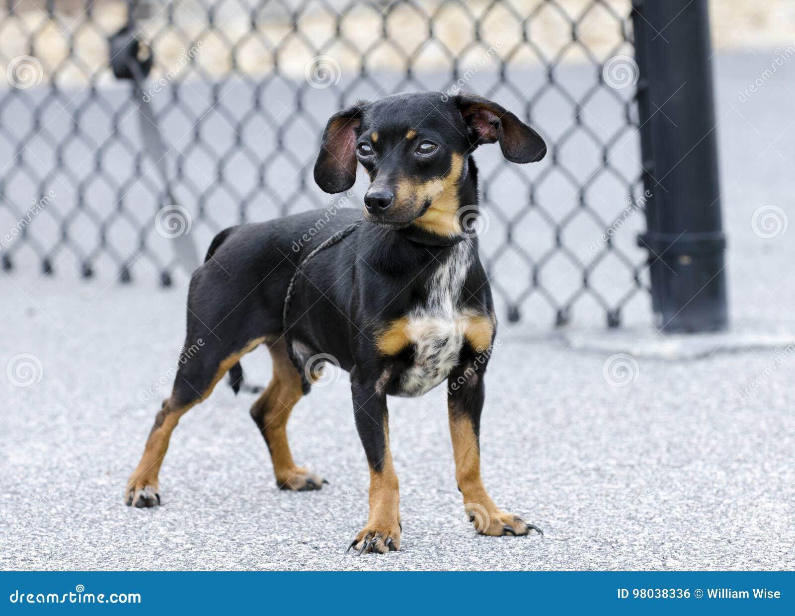 Chiweenie奇瓦瓦狗达克斯猎犬被混合的品种狗
