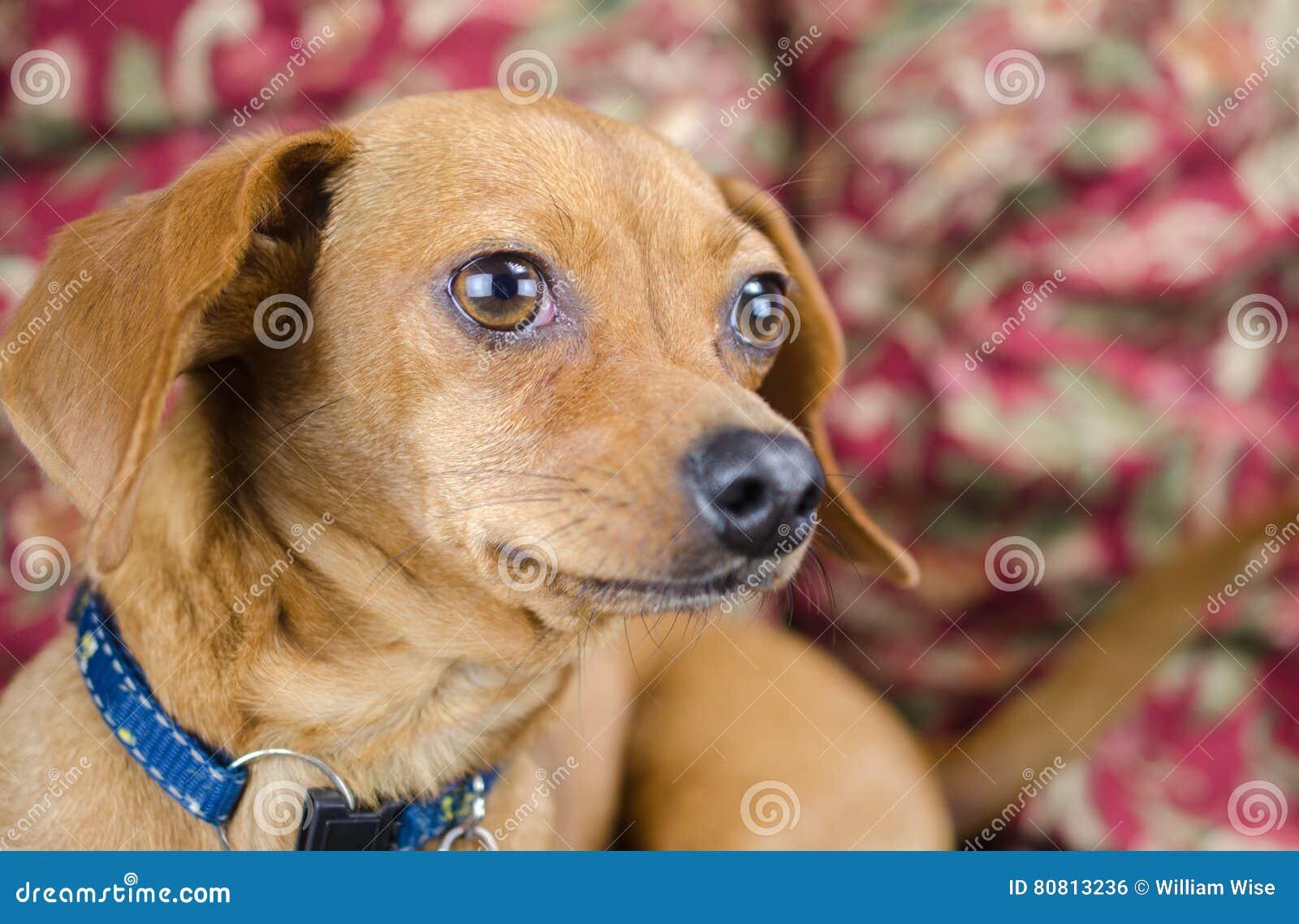 Chiweenie Dachshund Chihuahua Stock Image