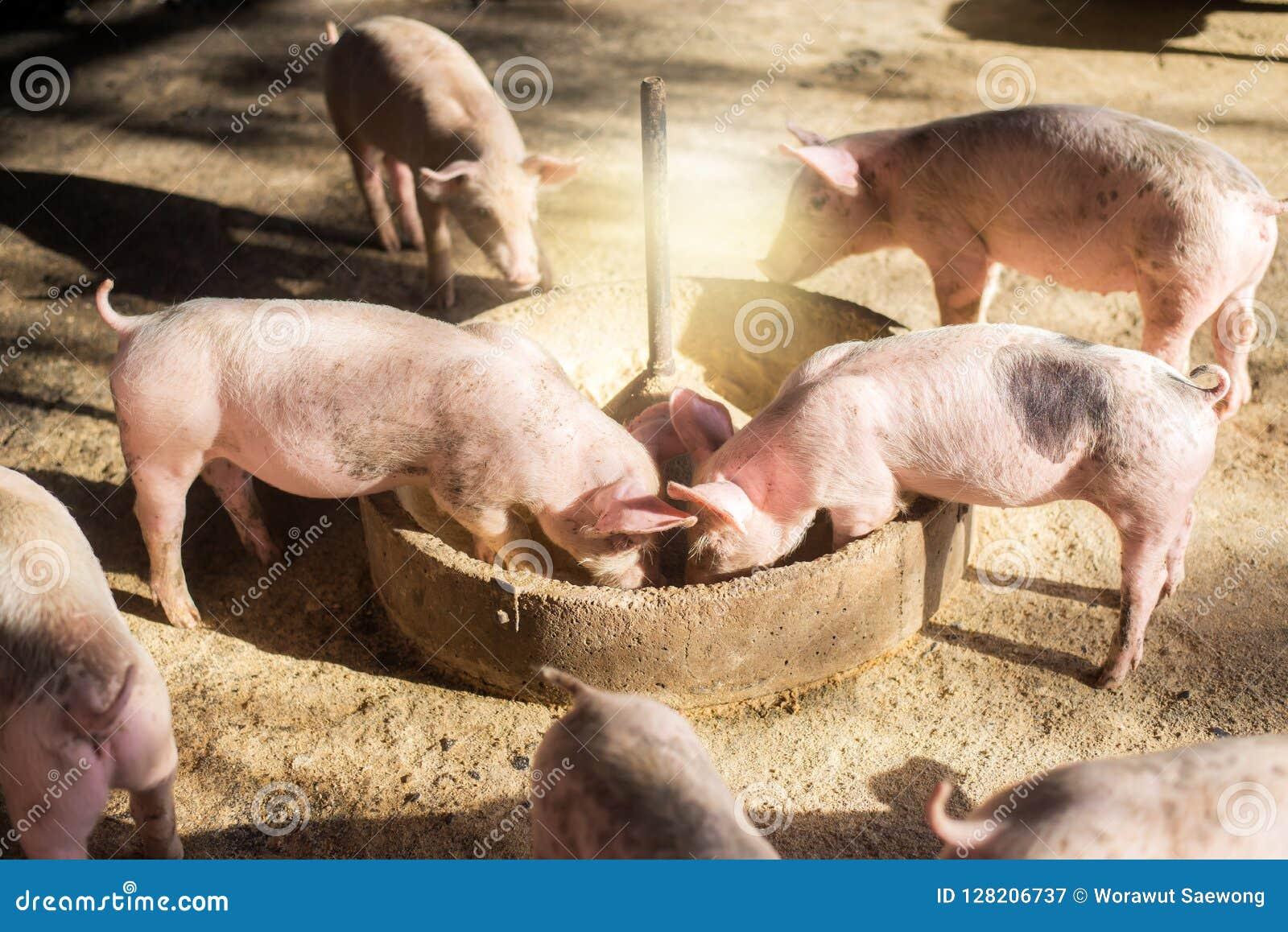 Chlewnie przy gospodarstwem rolnym Mięsny przemysł Świnia uprawia ziemię spotykać rosnącego popyt dla mięsa w Thailand i zawody m