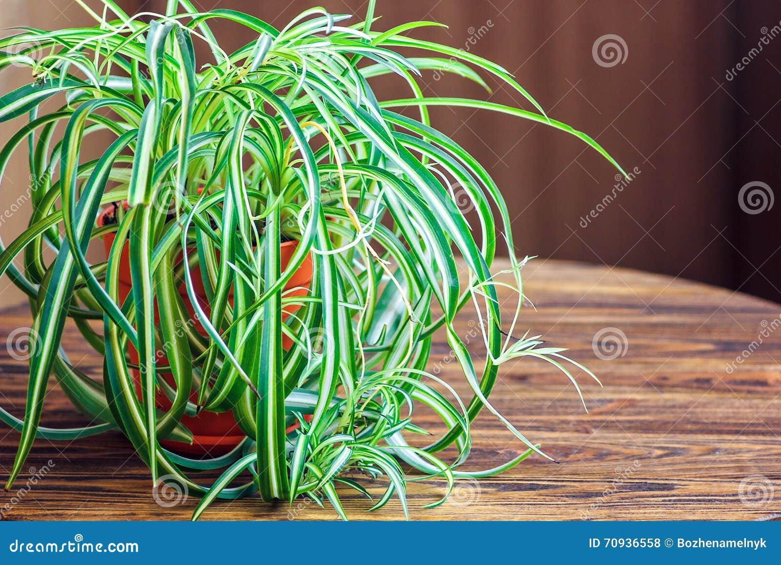 Chlorophytum άσπρο flowerpot στο ξύλινο υπόβαθρο Διακοσμητικές εγκαταστάσεις στο δοχείο το /Variegatum, comosum Εγκαταστάσεις αρα