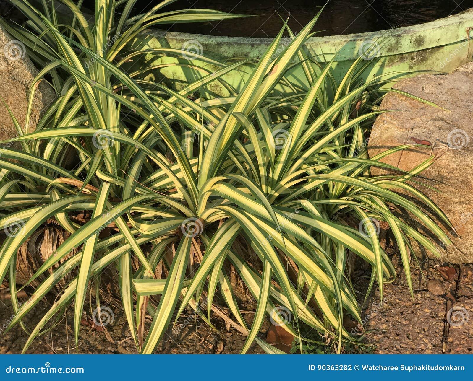 chlorophytum spider plant stock photos images u0026 pictures 78 images