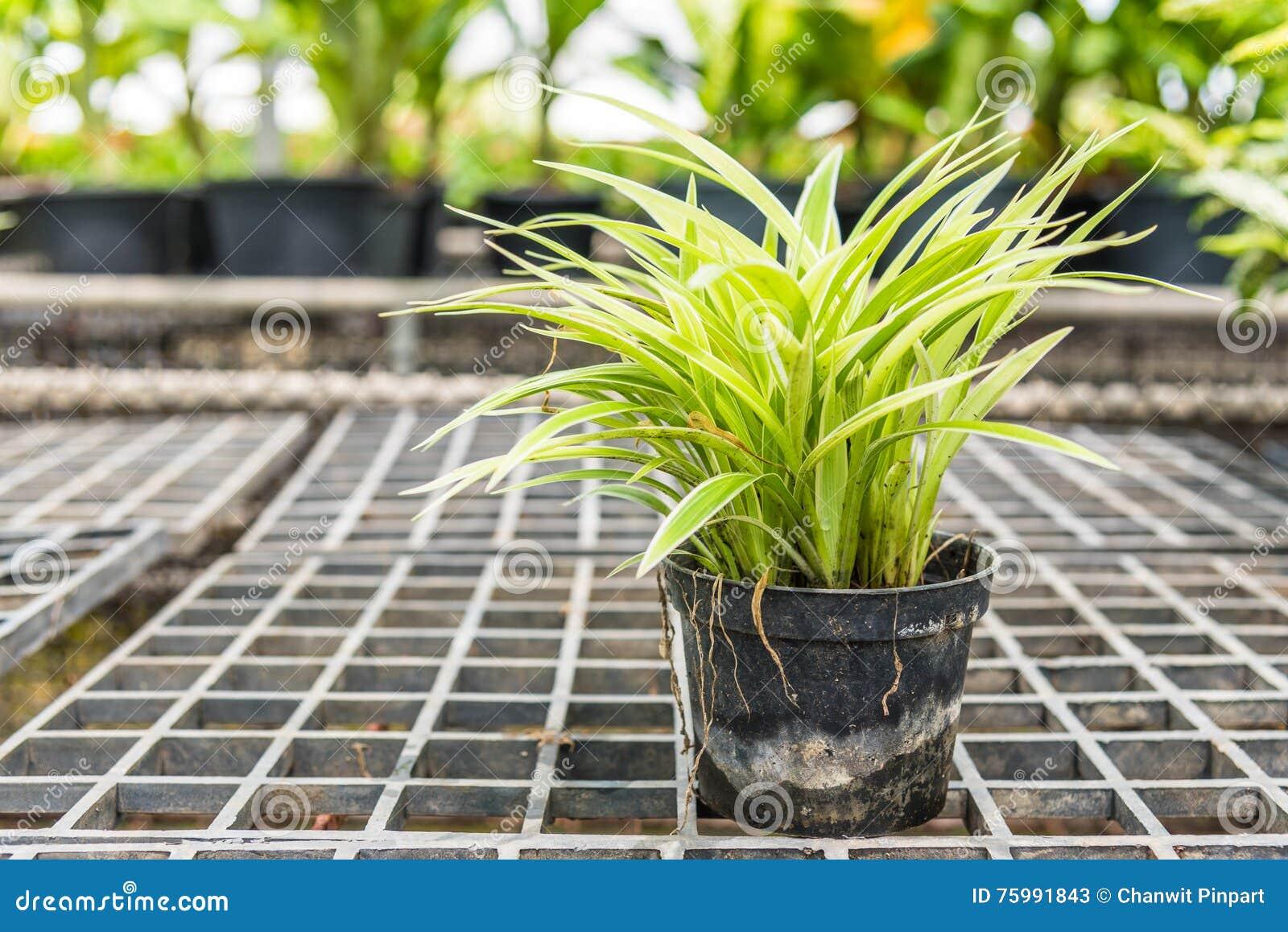 chlorophytum comosum spider plants in a pot for sale stock image image of exterior grow. Black Bedroom Furniture Sets. Home Design Ideas