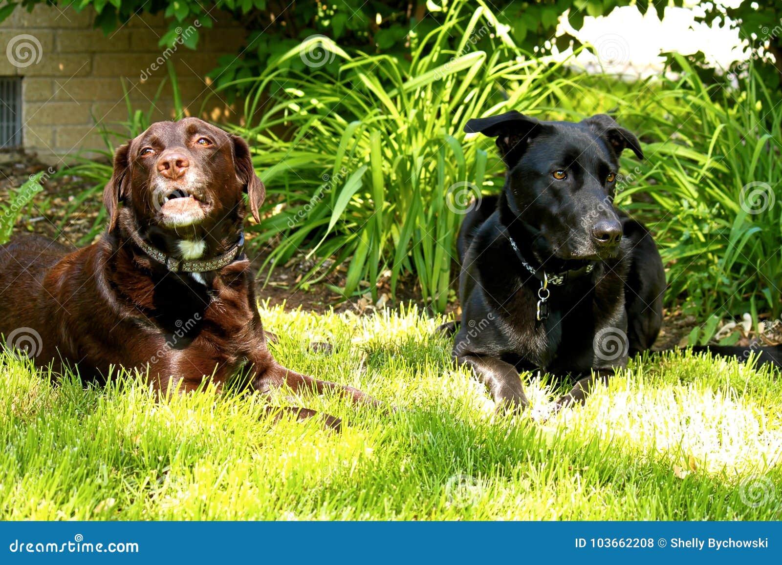 Chocolade huilen van Labrador en zwarte herdershond die in binnenplaatsgazon leggen