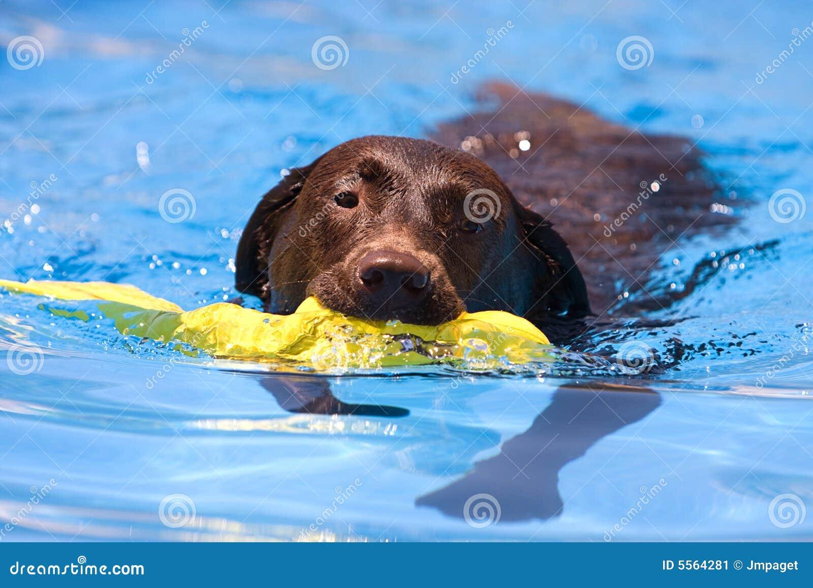Chocolat labrador recherchant un jouet de l 39 eau image for Internotes r web retriever