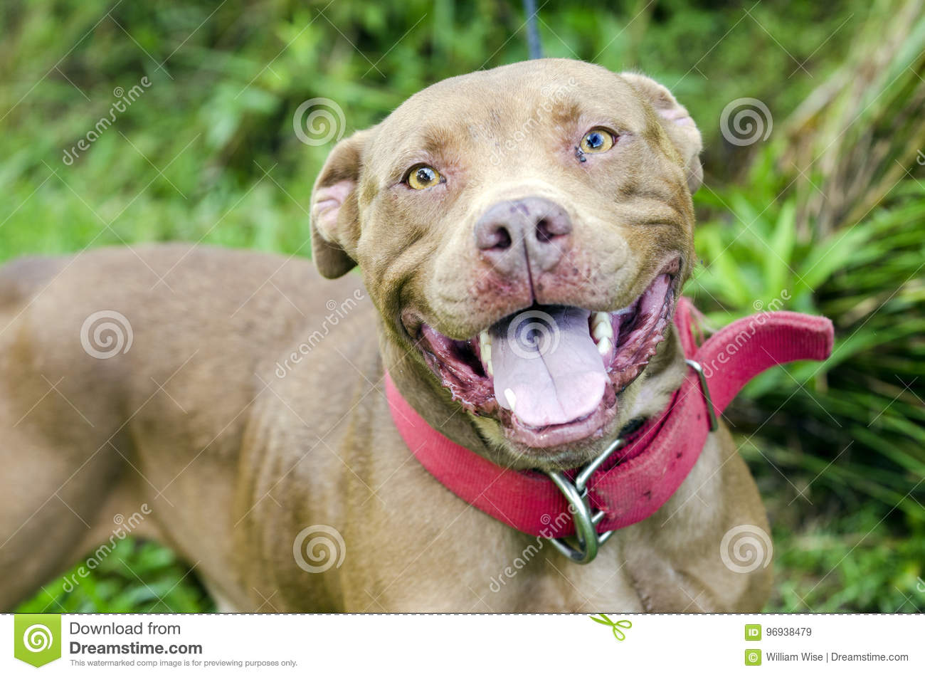 Chocolate American Pitbull Terrier Dog With Red Collar ...