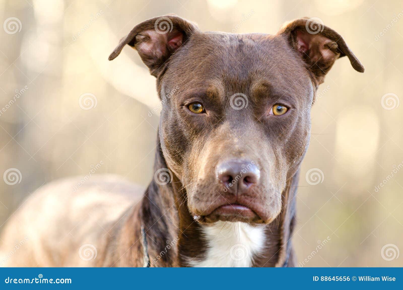 Chocolate American Pitbull Terrier Dog Walton County Animal