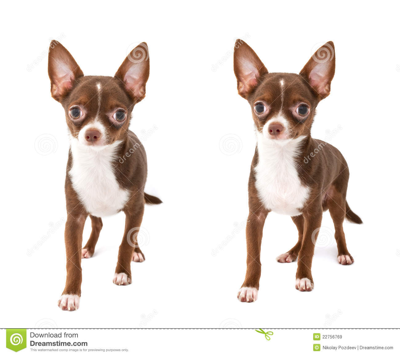 Chocolate Brown Chihuahua Dog Making Step Forward Royalty Free ...