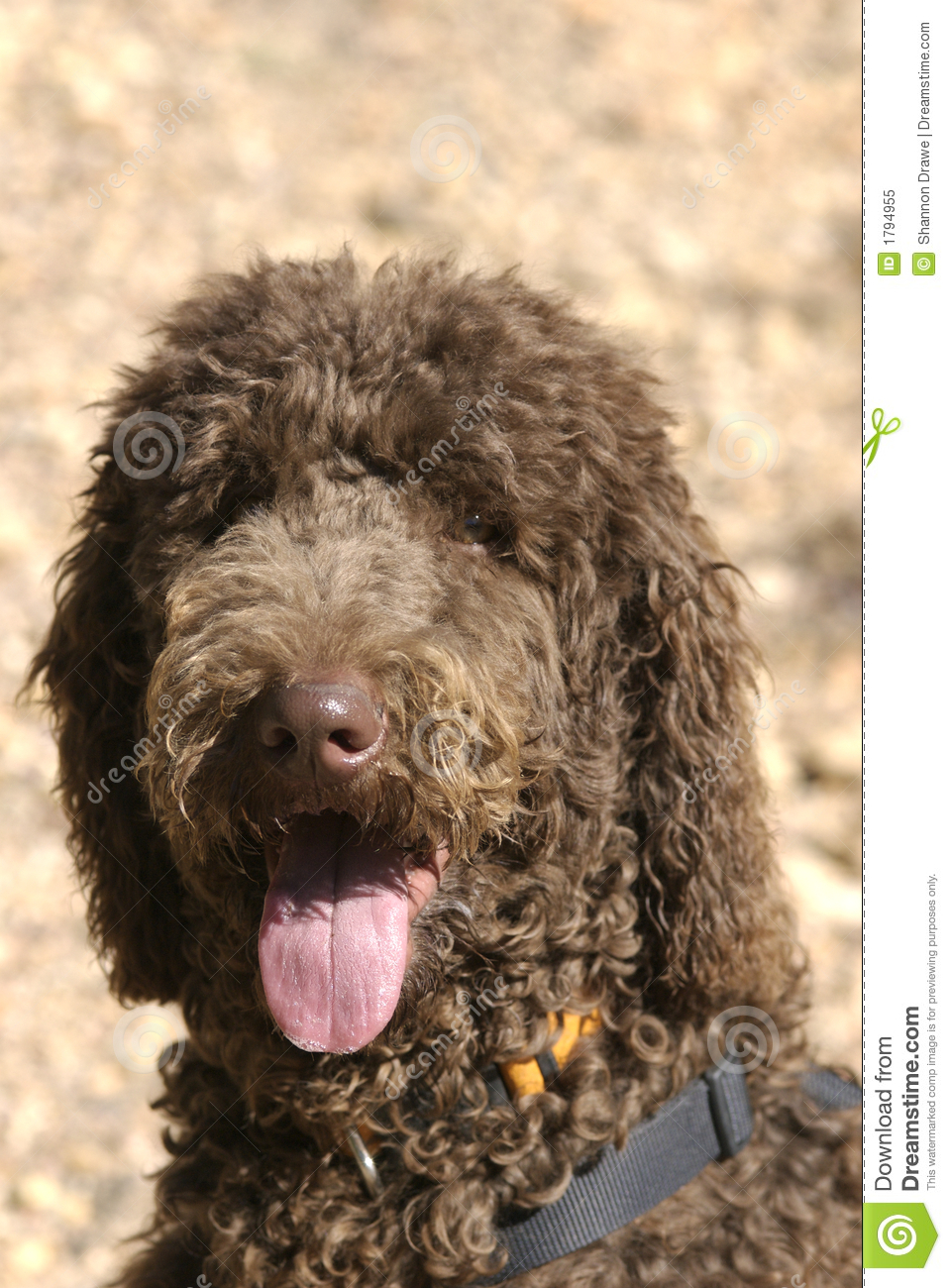 panting happy chocolate brown poodle with a sweaty pink tongue and ...
