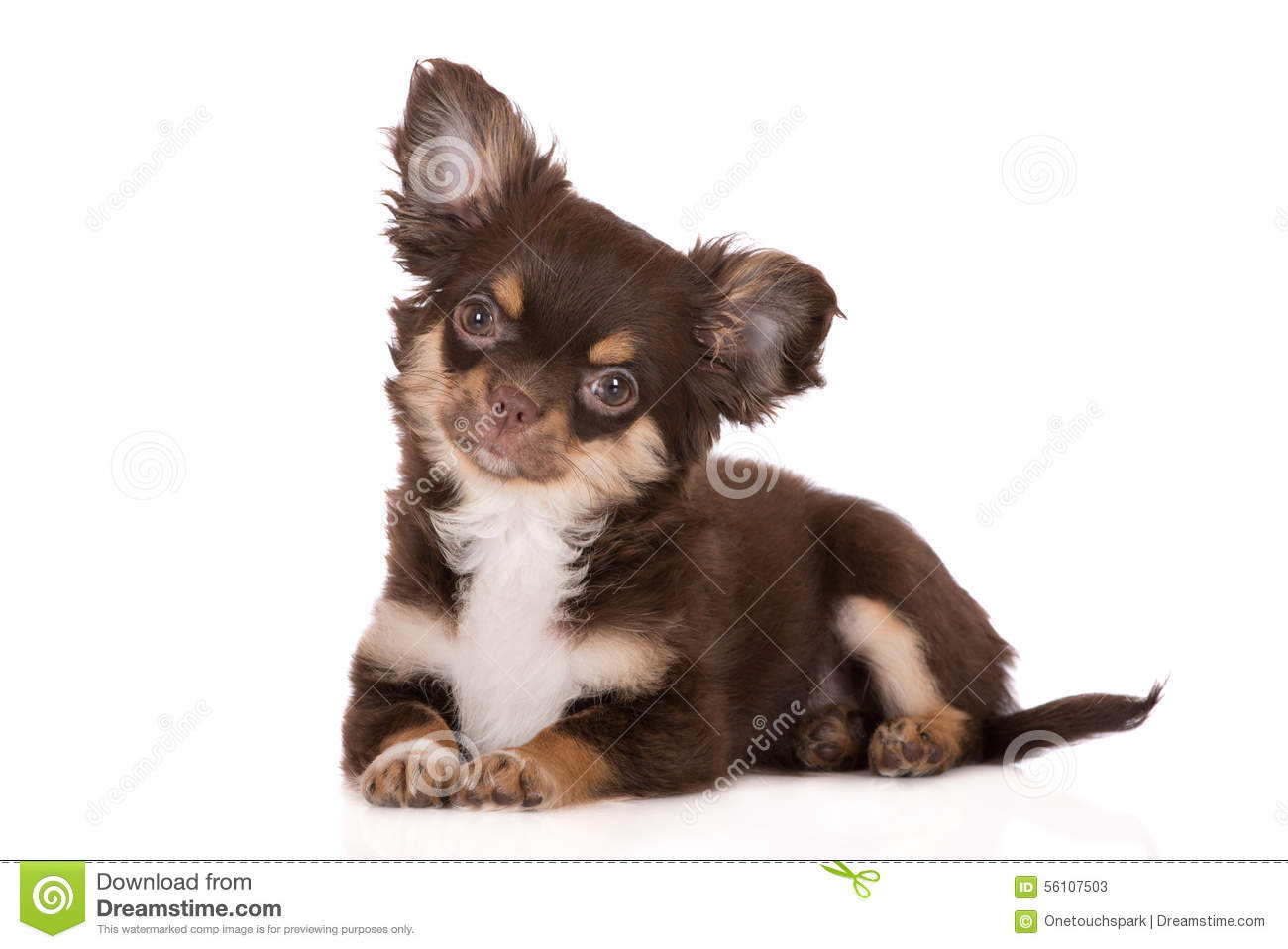 Chocolate Chihuahua Puppy On White Stock Image Image Of