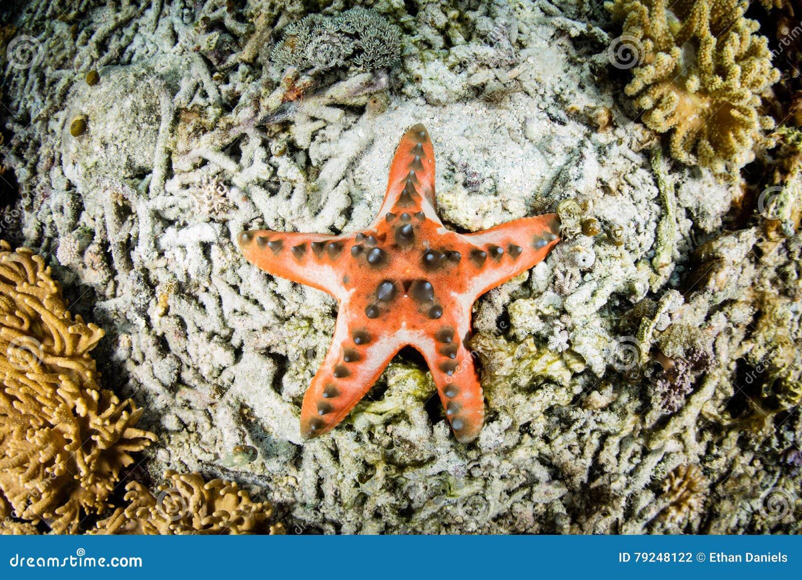 Chocolate Chip Starfish Stock Photo - Image: 79248122