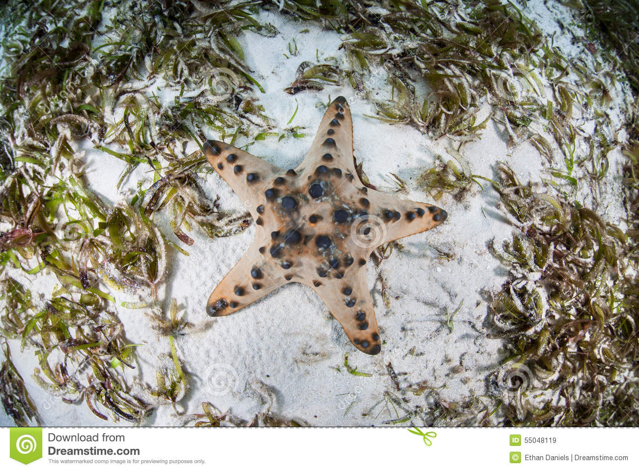 Chocolate Chip Starfish In Seagrass Meadow Stock Photo - Image ...