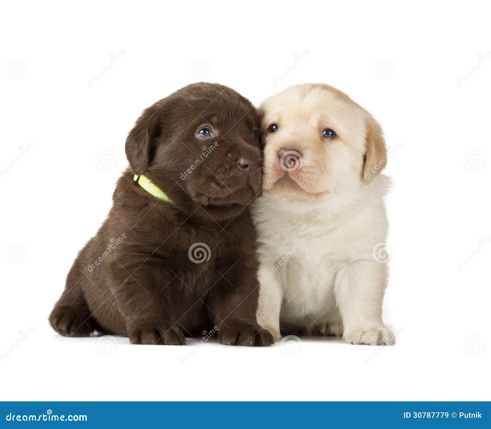 Chocolate Chocolate Labrador Retriever Puppies Stock Image Image