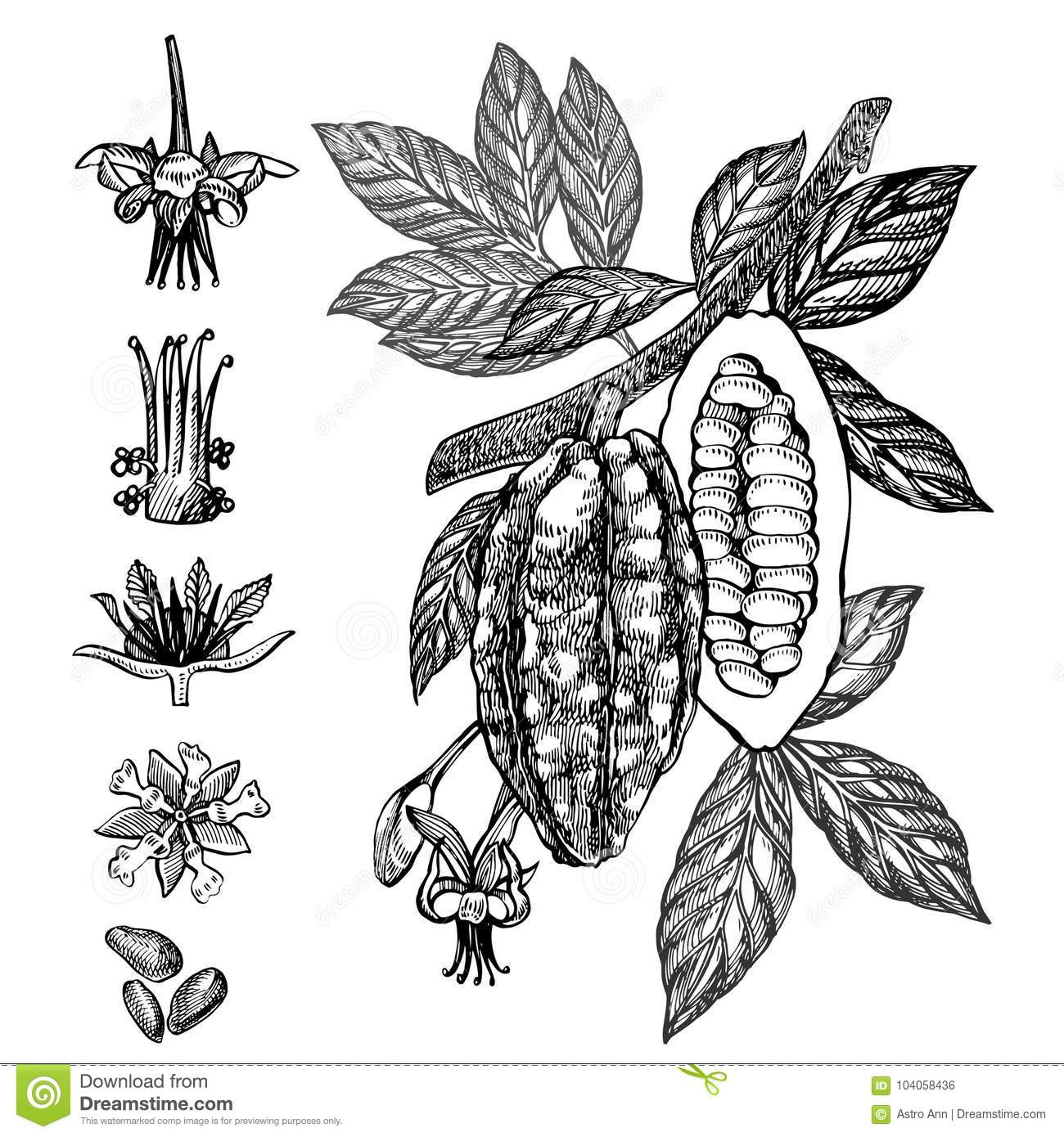 Cacao Tree Stock Illustrations 2 197 Cacao Tree Stock Illustrations Vectors Clipart Dreamstime