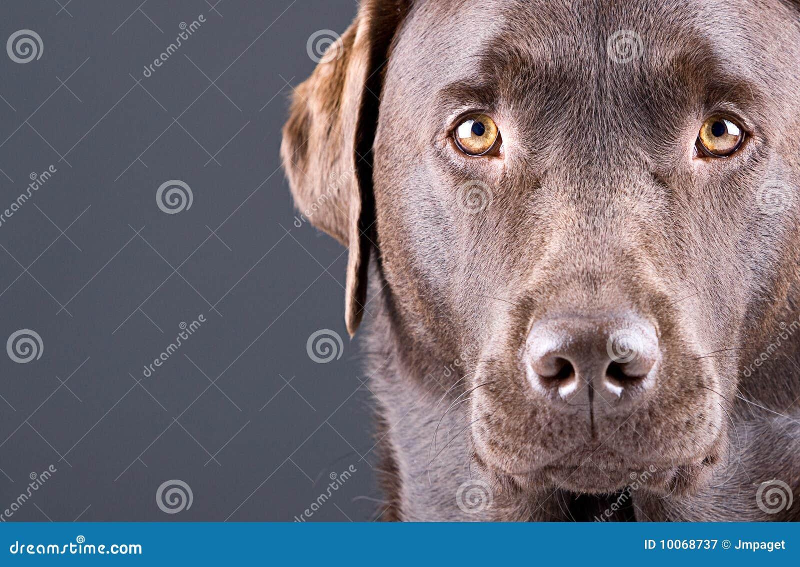 Chocolate impressionante Labrador de encontro ao cinza