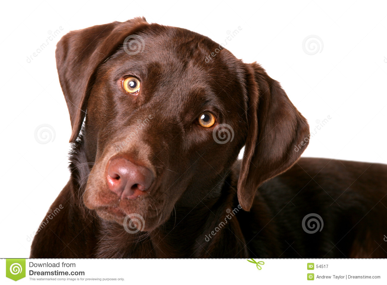 Chocolate Lab 1 Royalty Free Stock Photography Image 54517