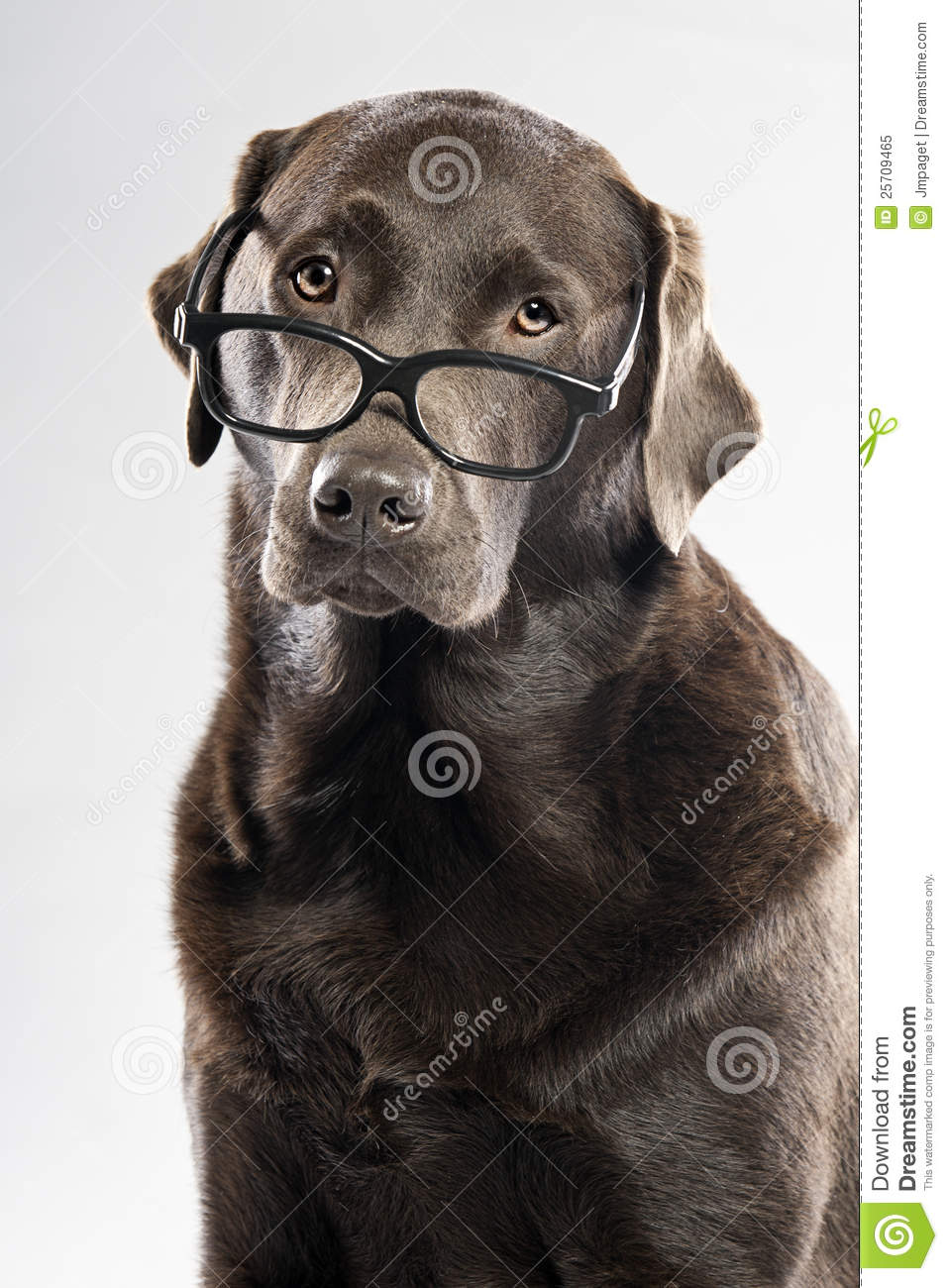 Chocolate Lab In Glasses Royalty Free Stock Photo - Image ...
