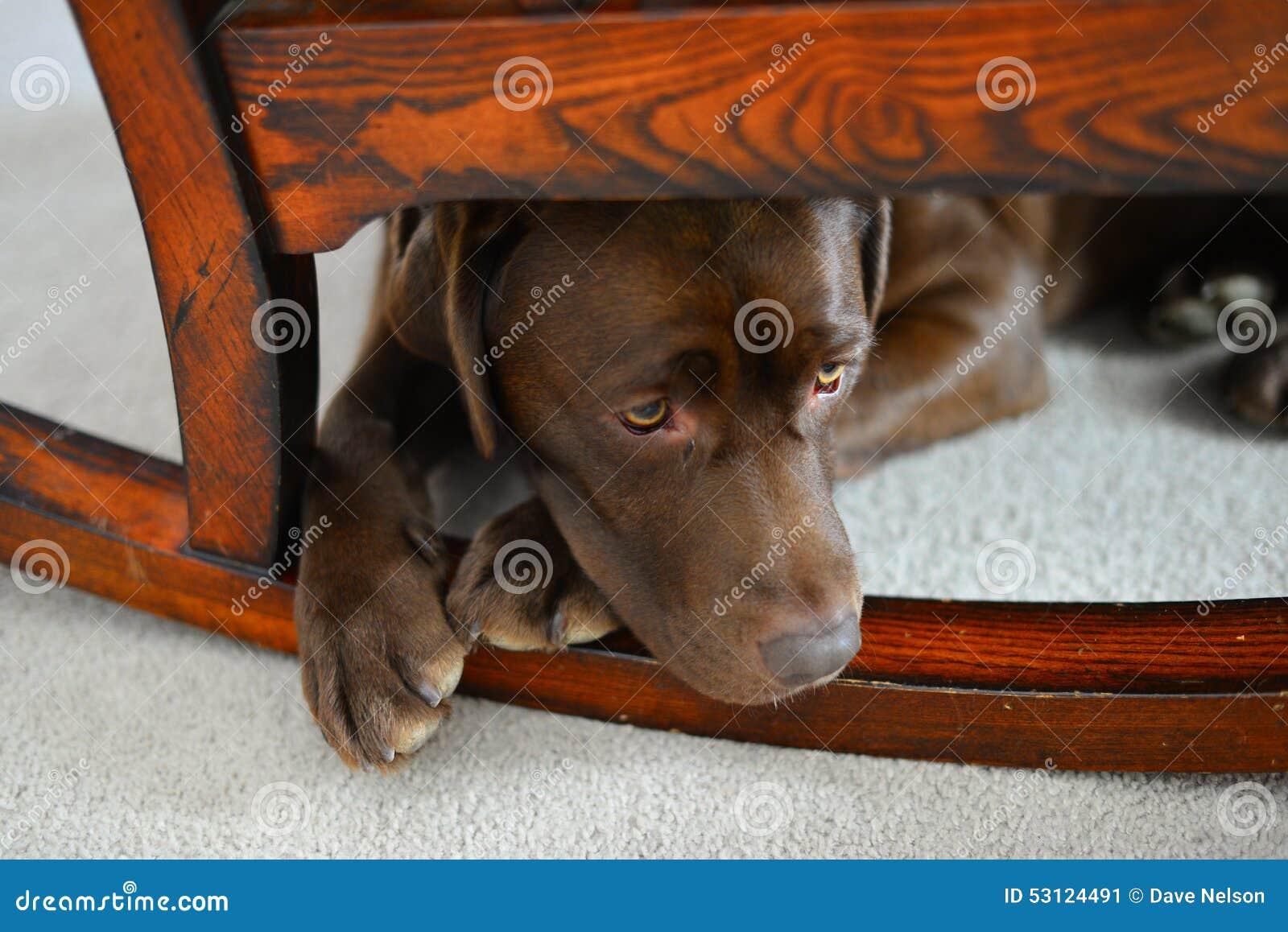 Chocolate Lab puppy lying under rocking chair