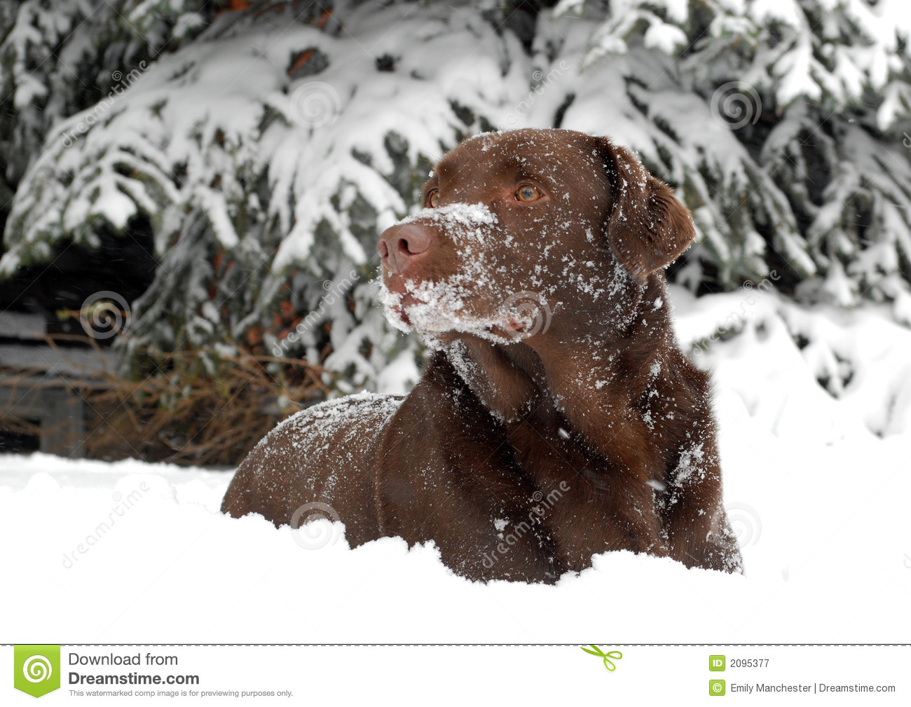 Chocolate Lab In The Snow Royalty Free Stock Photography - Image ...