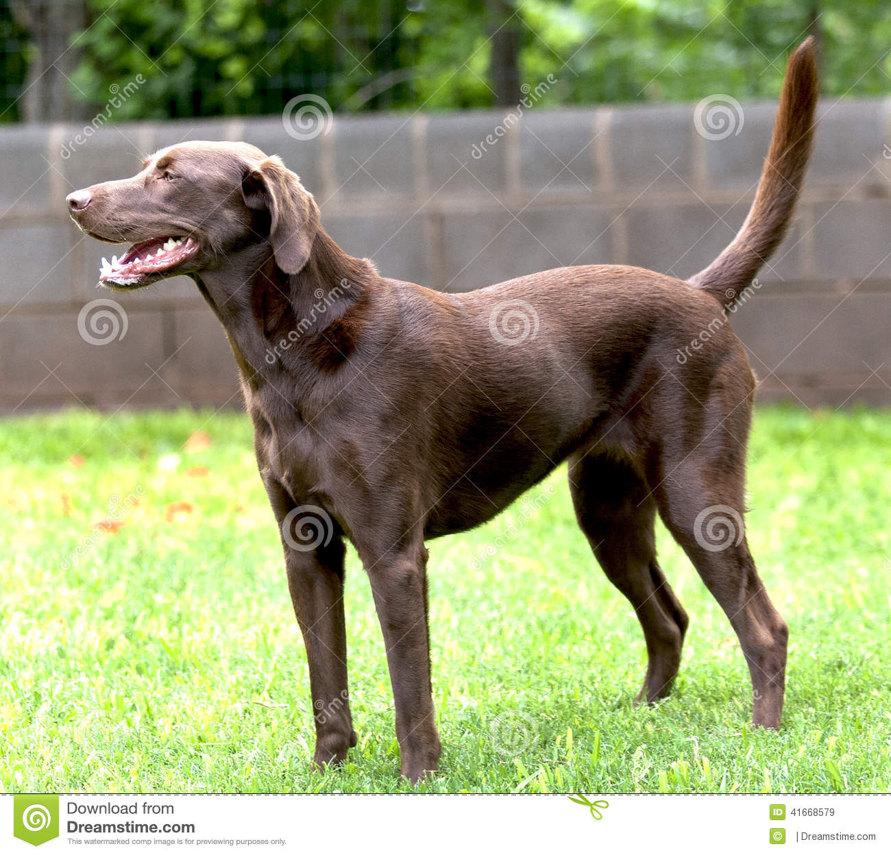 Isolated Labrador Chocolate Retriever Dog Stock Photo 41668579