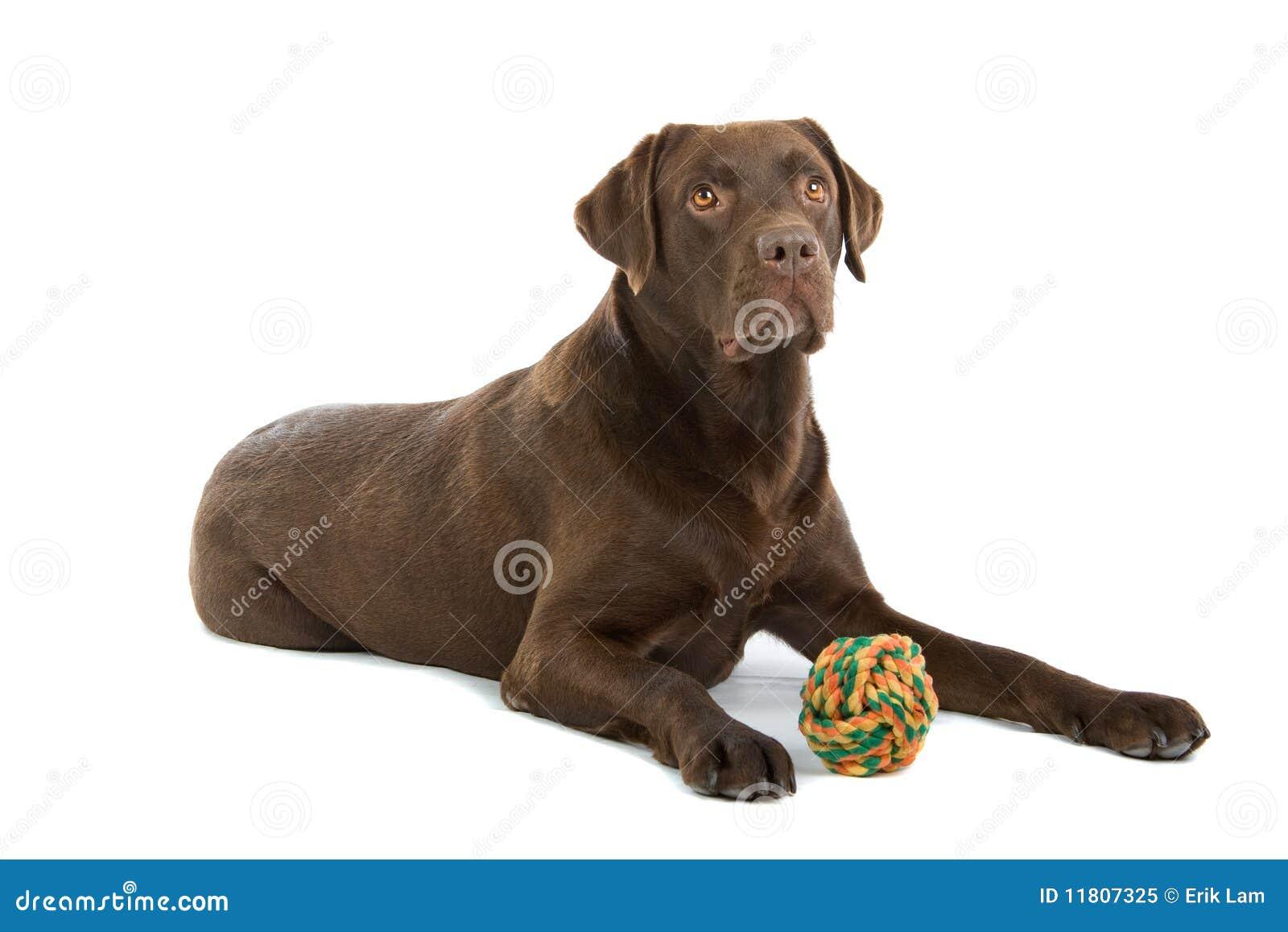 Chocolate Labrador Dog Royalty Free Stock Photo - Image: 11807325