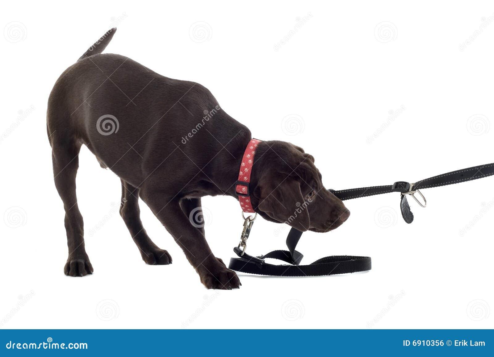 Chocolate Labrador Pup