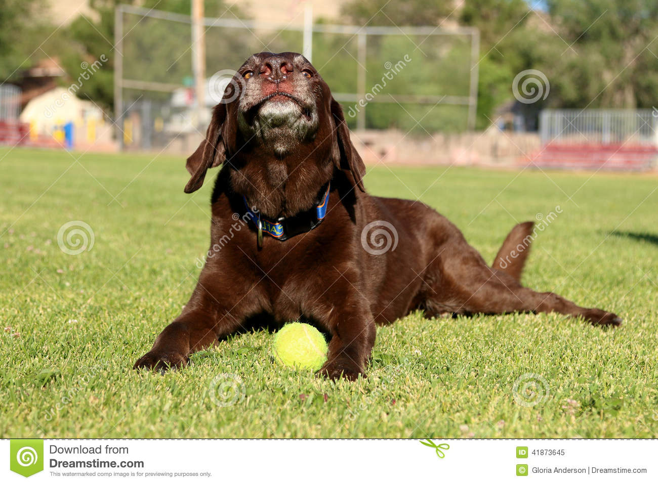 Chocolate Labrador Retriever Laying On The Grass With His Ball ...