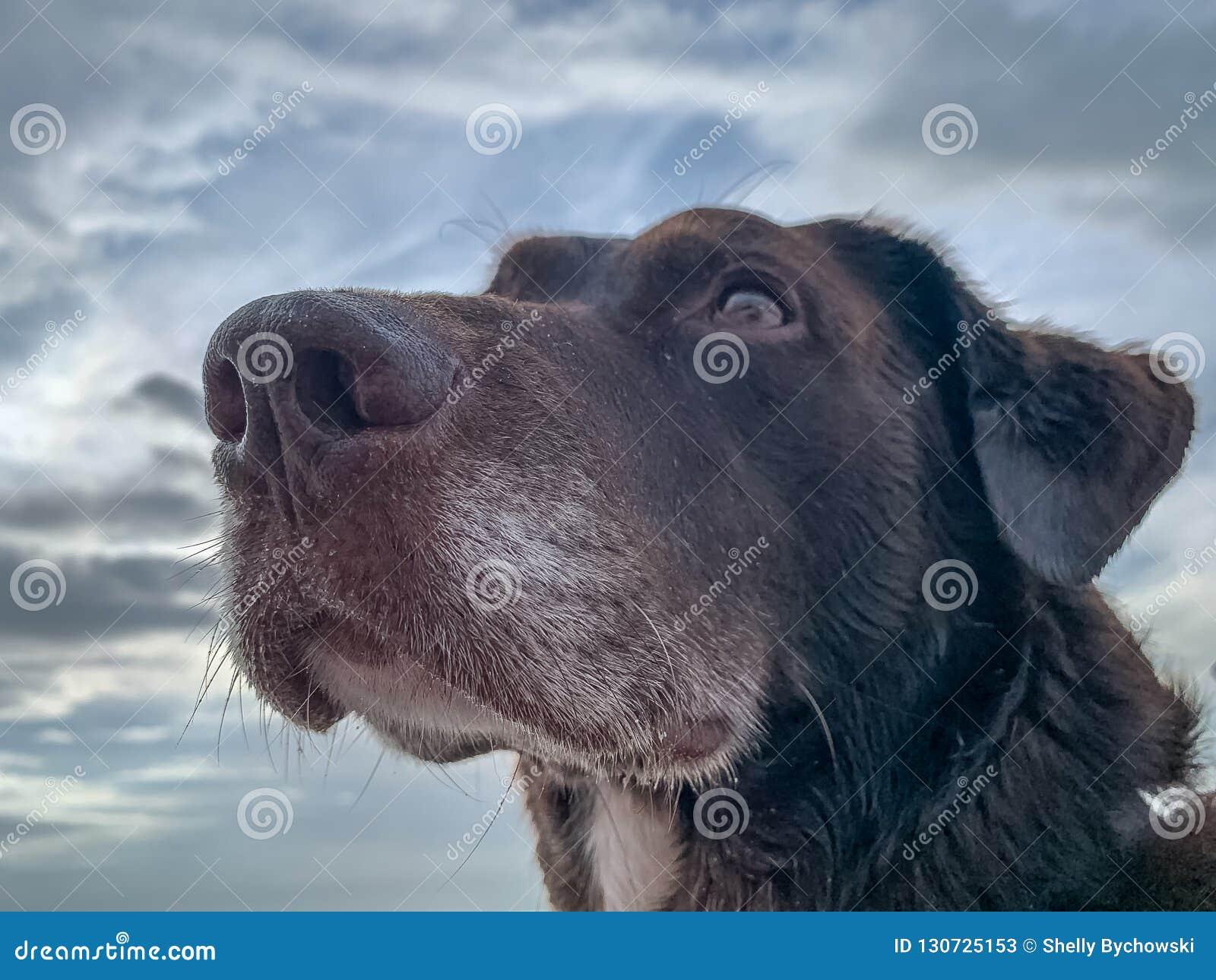 Chocolate Labrador Retriever looking off into distance