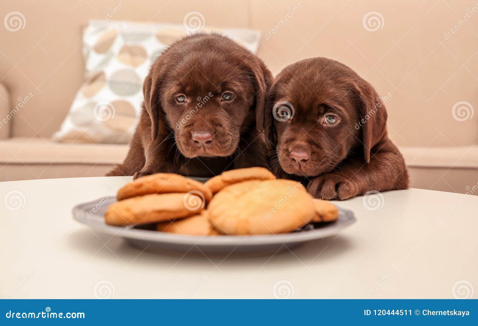Chocolate Labrador Retriever puppies near cookies indoors