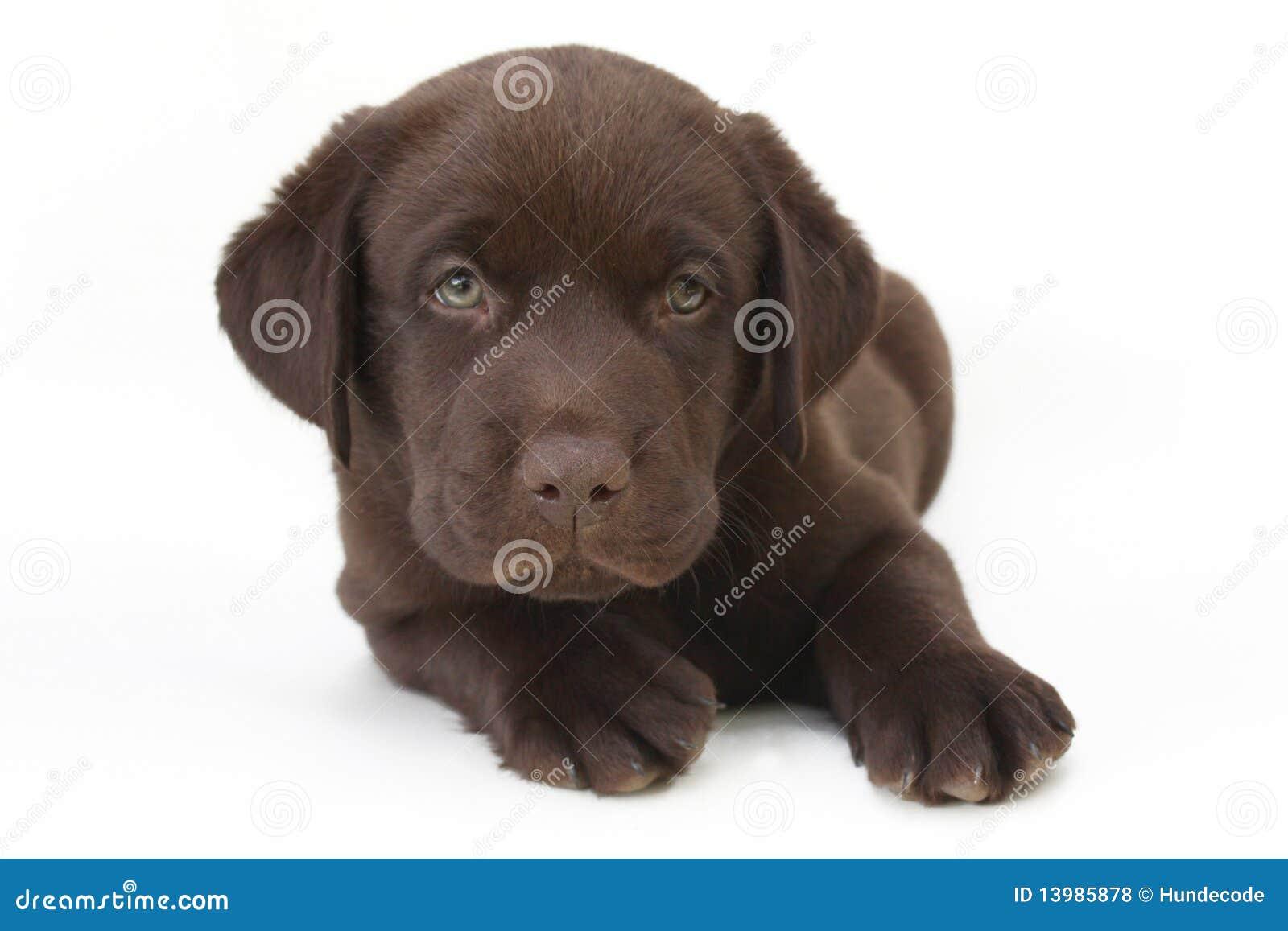Chocolate labrador retriever puppy with green eyes