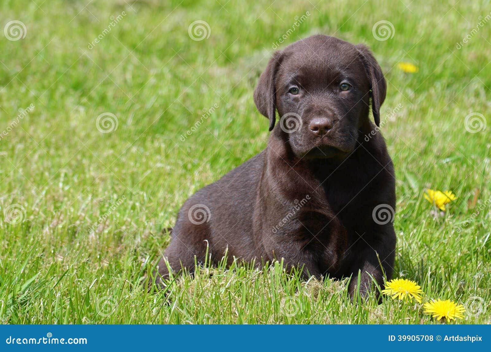 cute chocolate labrador retriever - photo #25