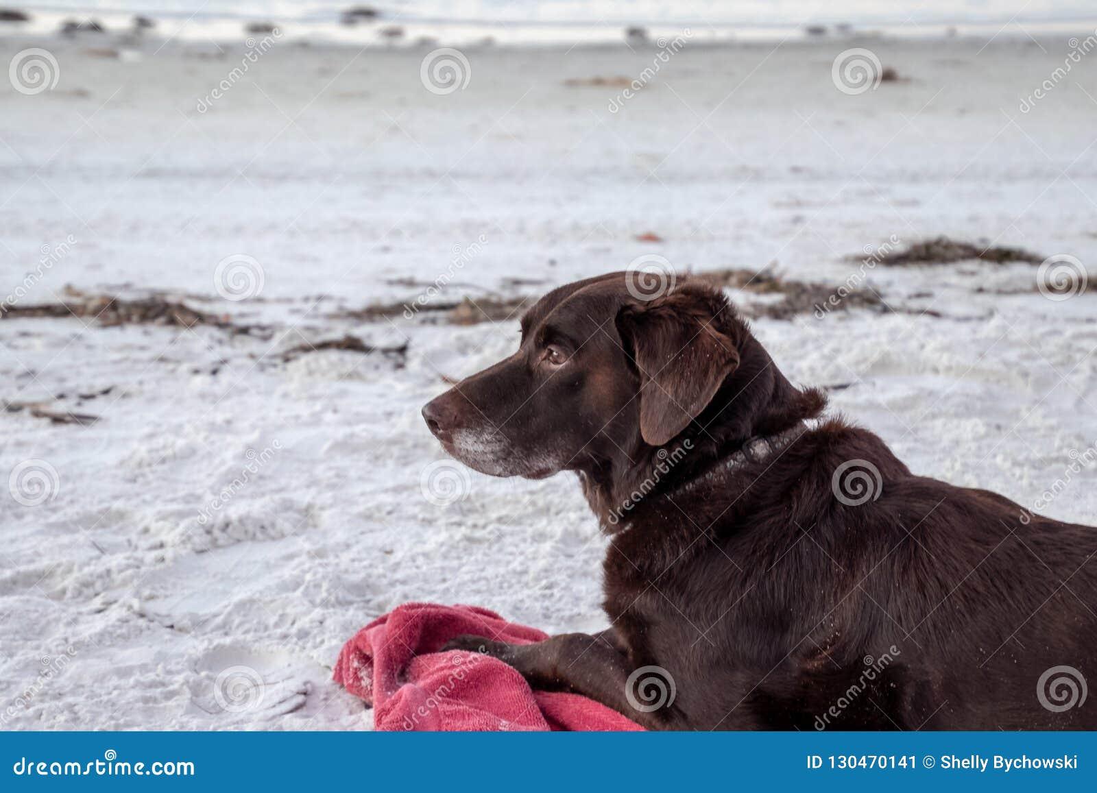 Chocolate labrador retriever que coloca na praia branca da areia ao observar a natureza no nascer do sol, ao longo do Golfo do Mé