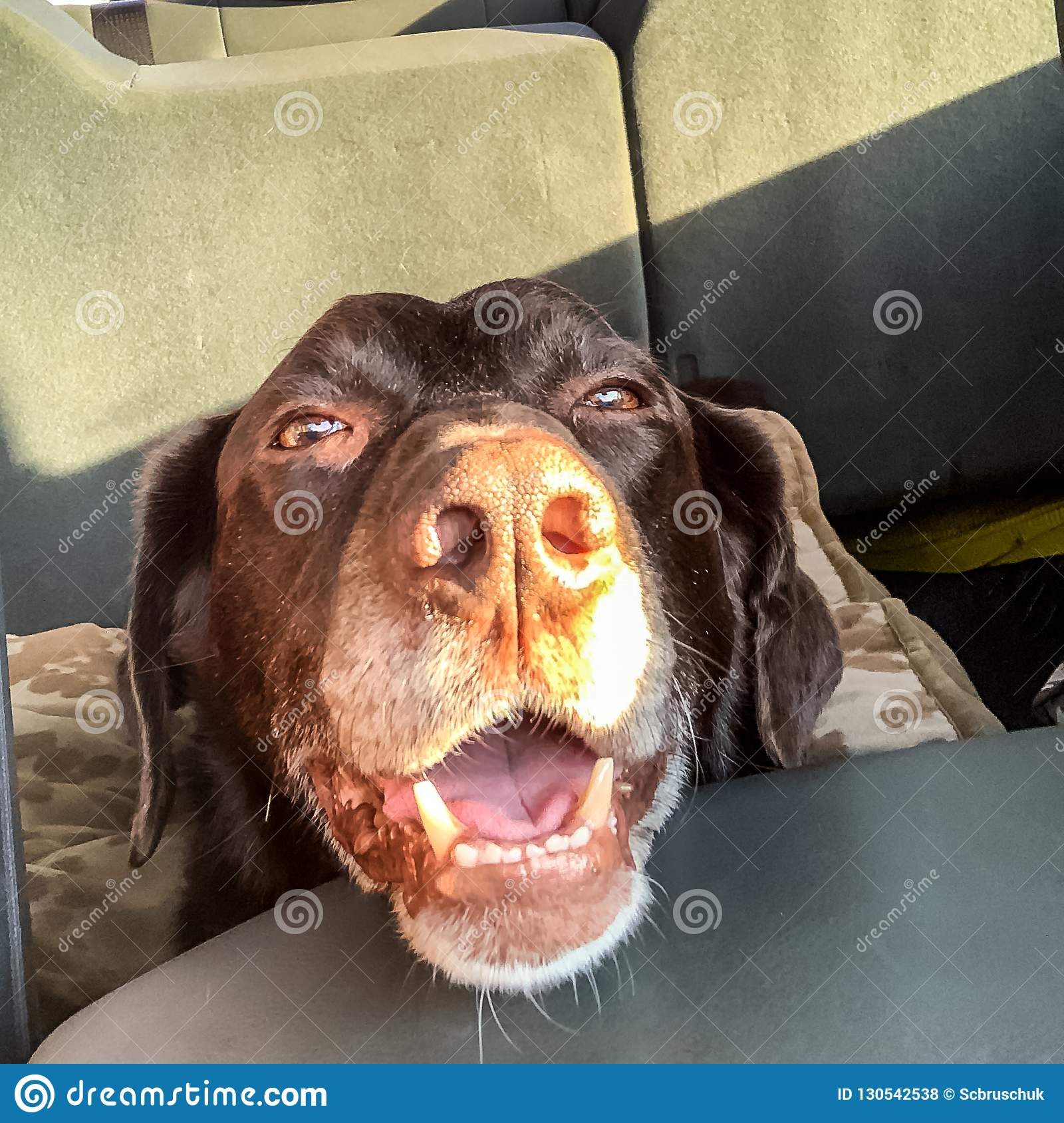 Chocolate Labrador Retriever riding in truck with huge doggie grin.