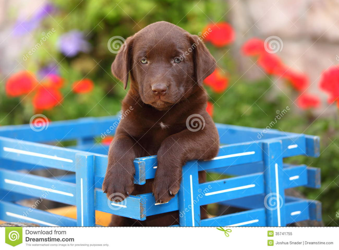 ... Retriever Sitting In Wagon Royalty Free Stock Photo - Image: 35741755