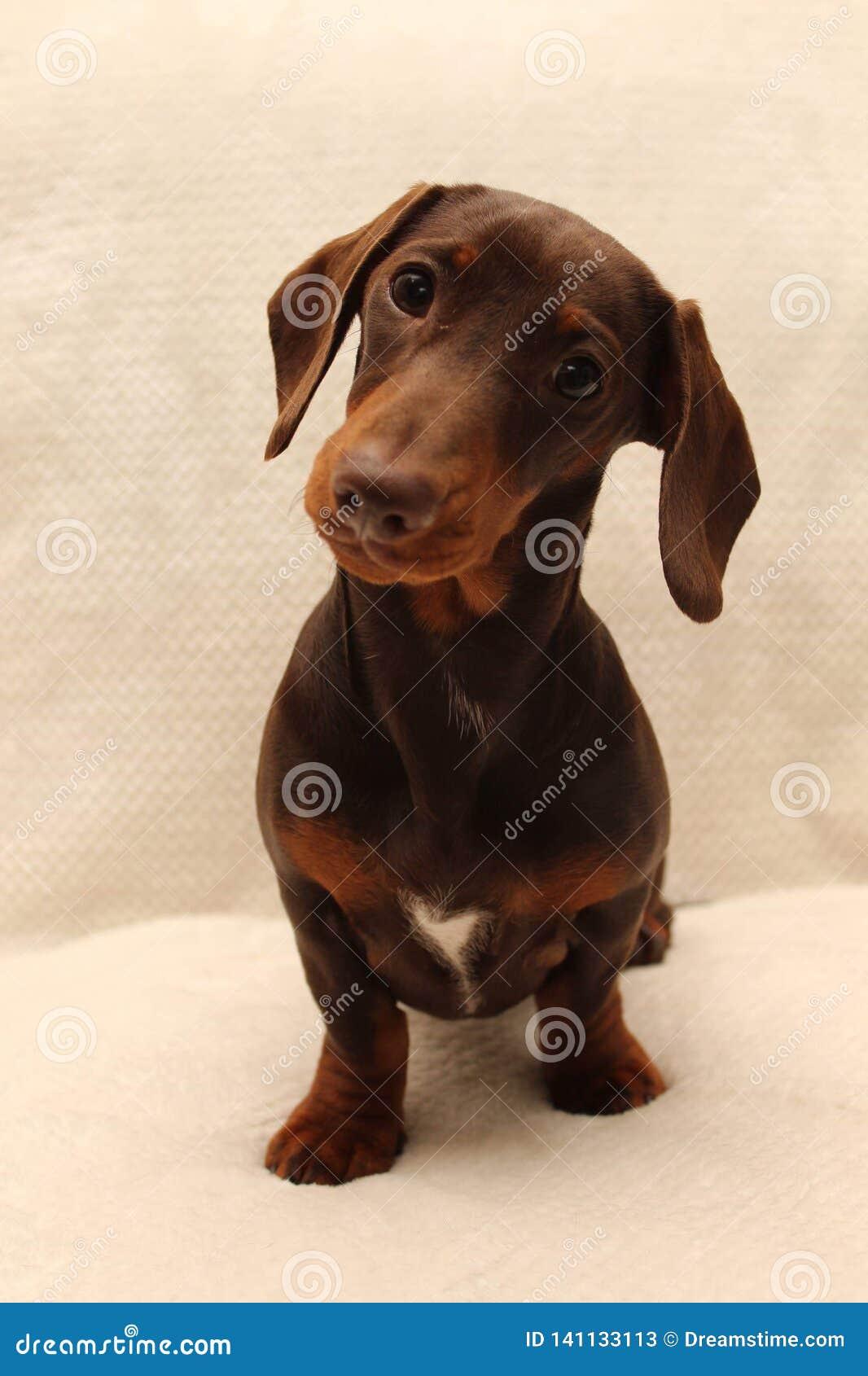 Chocolate Miniature Dachshund Puppy Stock Image Image Of Sausage Side 141133113