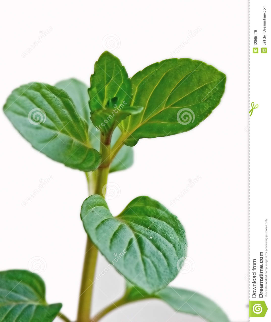 Chocolate Mint Plant Royalty Free Stock Images - Image: 12865179