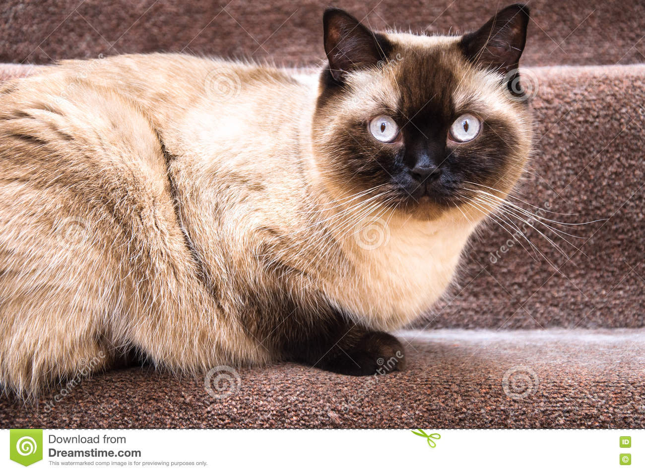 British Chocolate Cat Stock Photos, Images, & Pictures - 355 Images