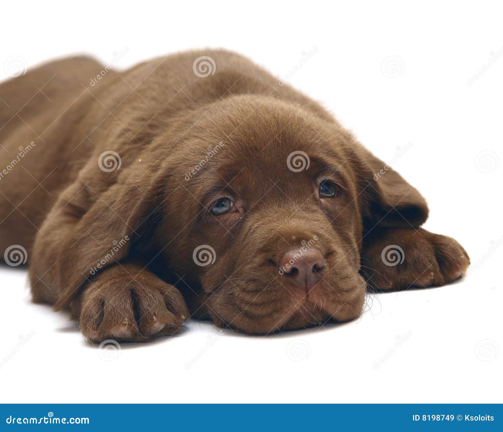 chocolate puppy Labrador. The puppy of breed Labrador Retriever.