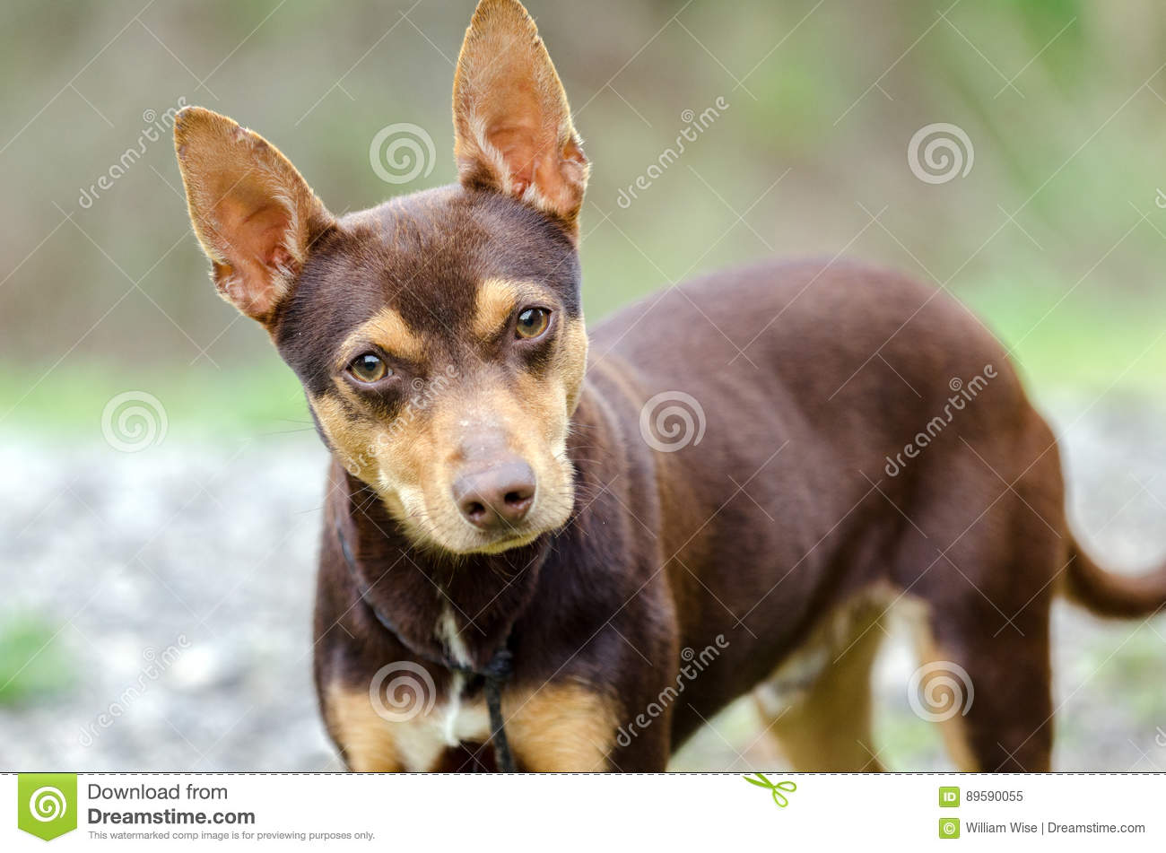 Chocolate Rat Terrier Mixed Breed Dog Adoption Stock