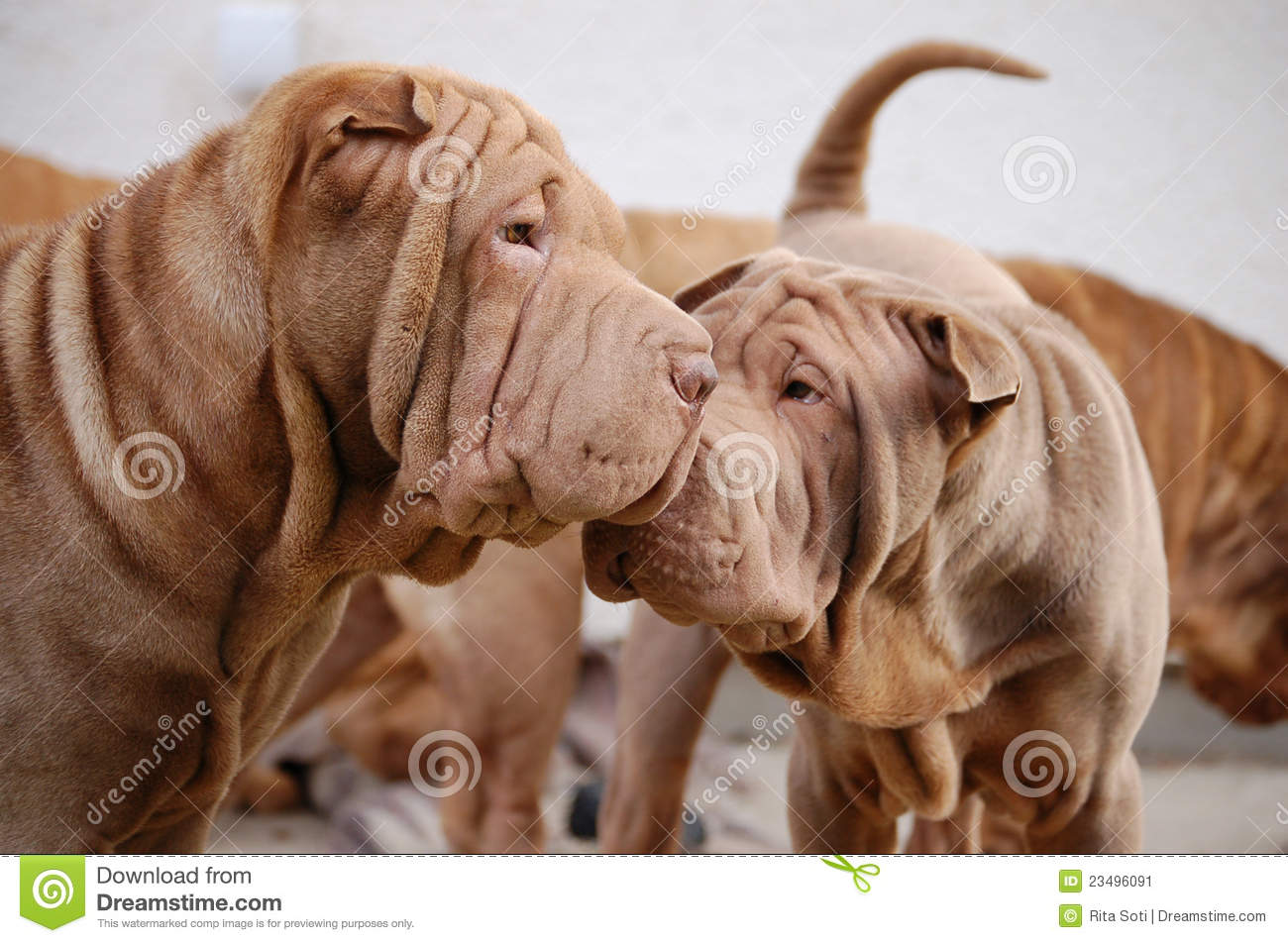 Chocolate Shar Pei Dogs Stock Image - Image: 23496091