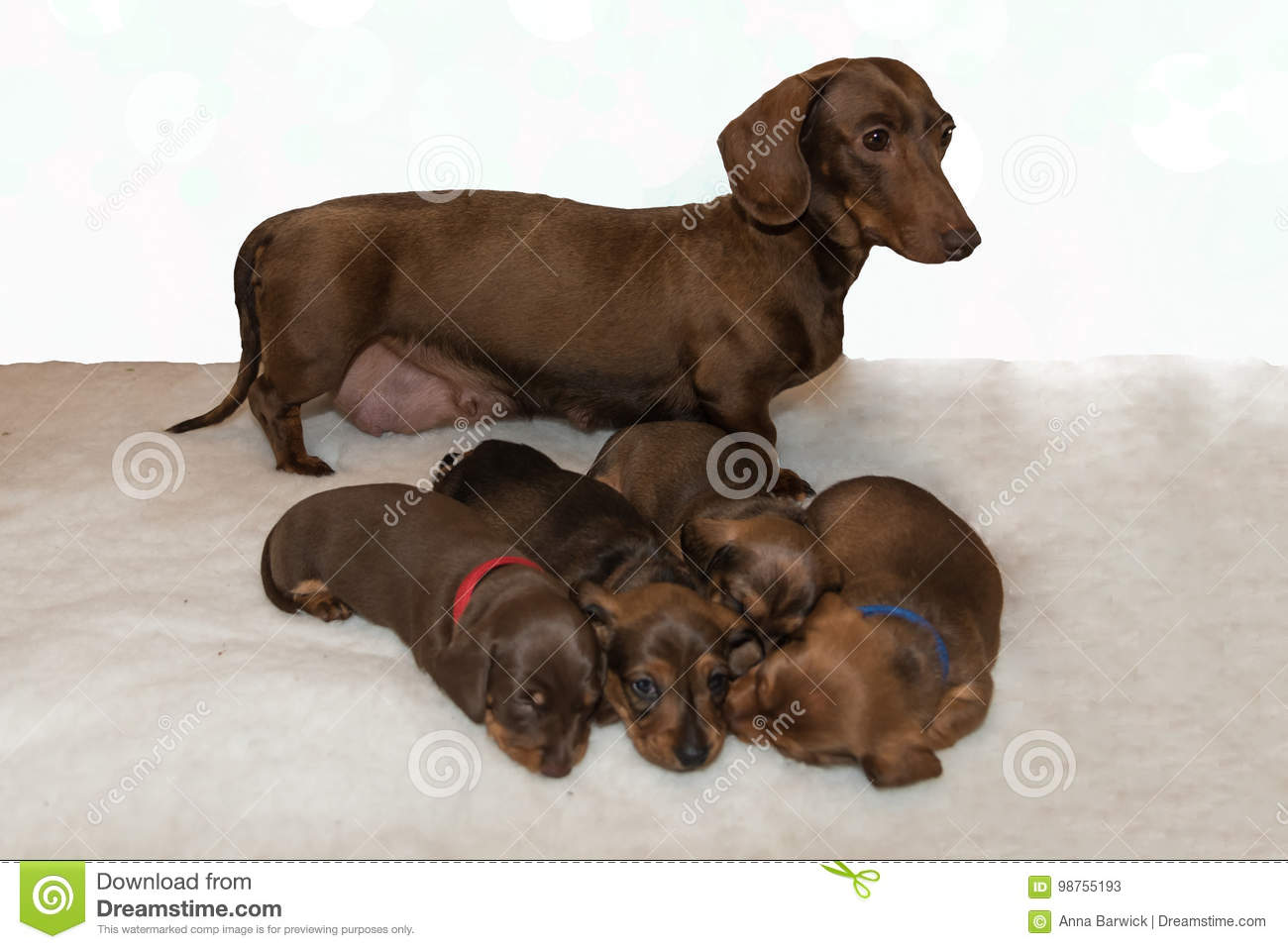Chocolate And Tan Miniature Dachshund With Four Puppies Stock Image Image Of Fluffy Canine 98755193