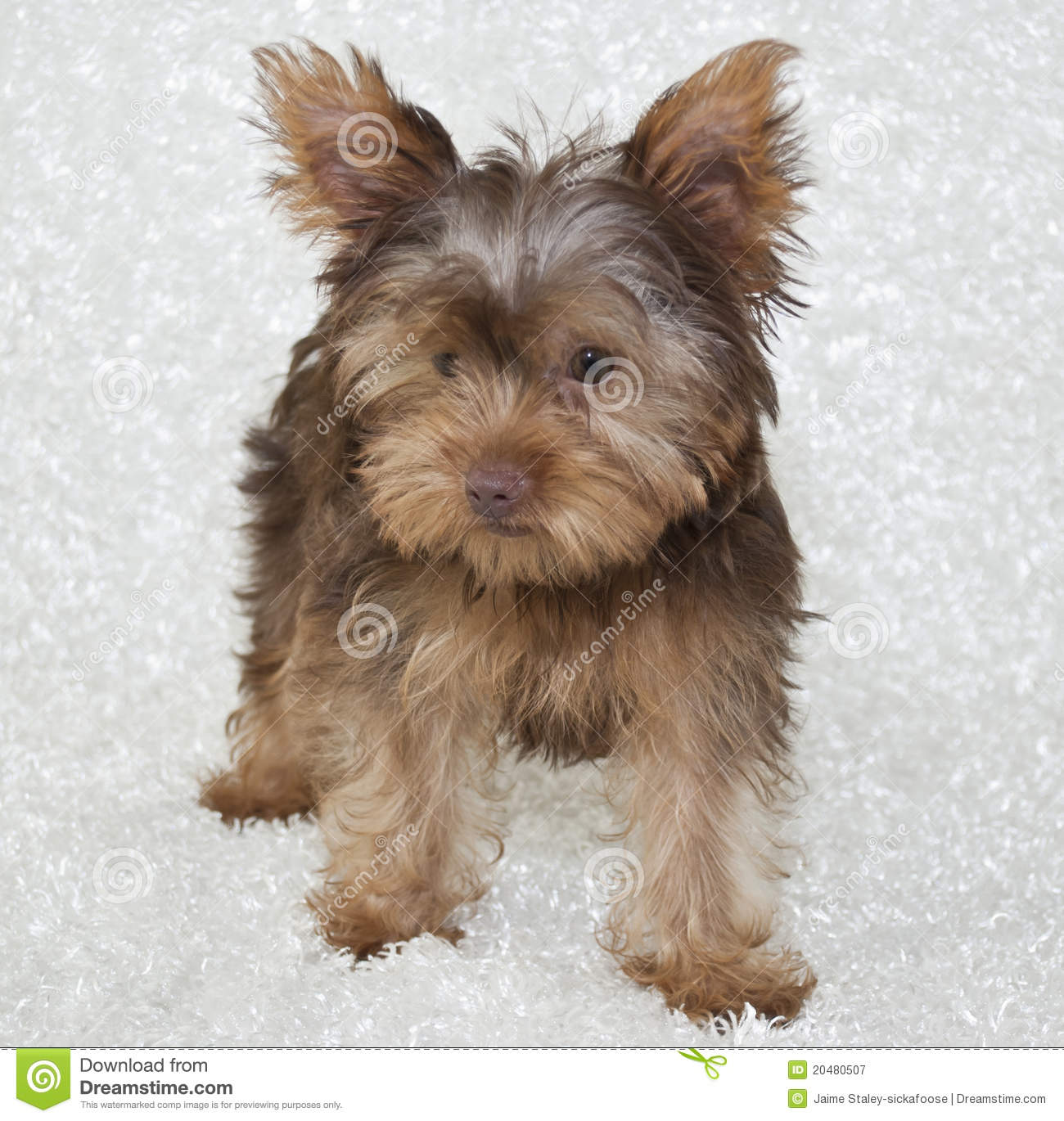 Chocolate Yorkie Puppy Royalty Free Stock Photography - Image ...