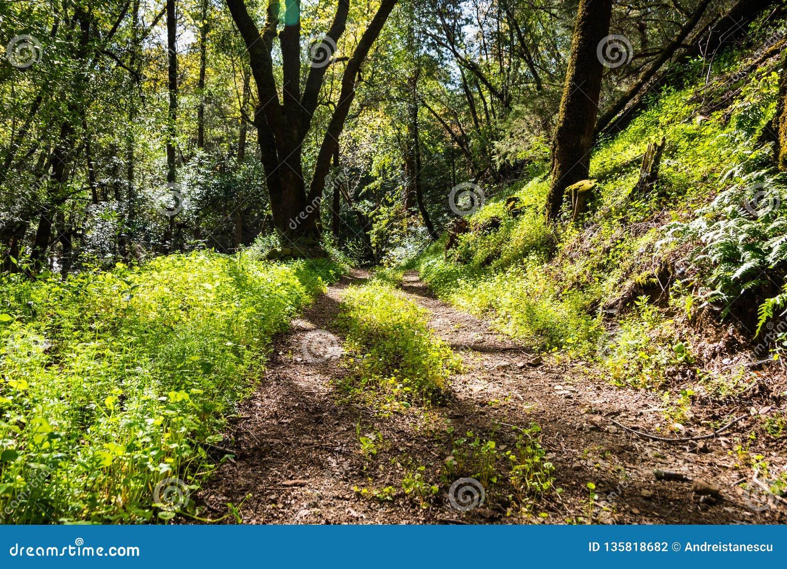 Chodzący ślad przez lasów Uvas jaru okręgu administracyjnego park zielony górnik, s sałata zakrywa ziemię, «, Santa Clara okręg a