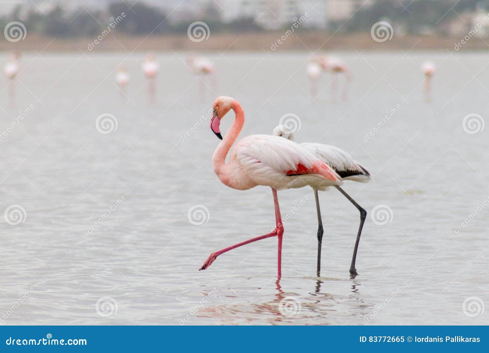 Chodzący Flamingi I Hala Sułtan Tekke Przy Larnaka Słonym Jeziorem