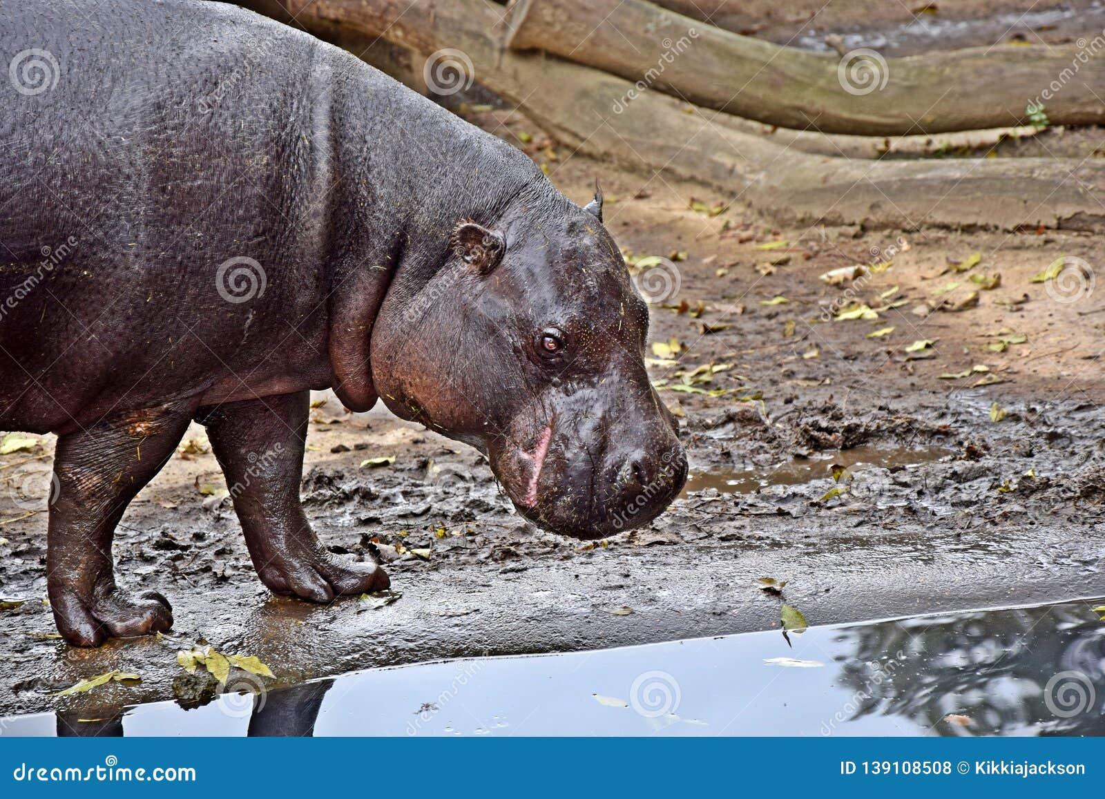 Choeropsis Liberiensis Small Hippopotamus Stock Photo
