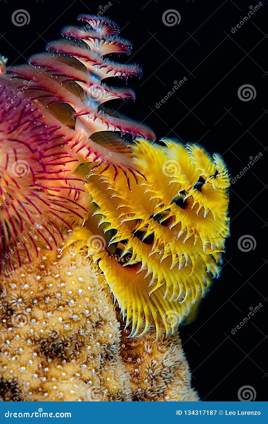 Choinki dżdżownicy utrzymanie w żółtym ciężkim tropikalnym koralu