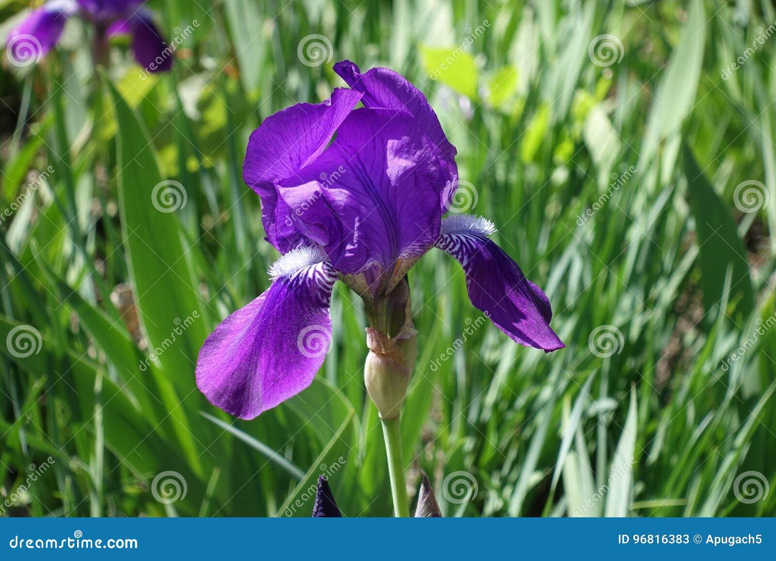 Choisissez La Fleur Violette De L Iris Barbu Avec Les Lignes