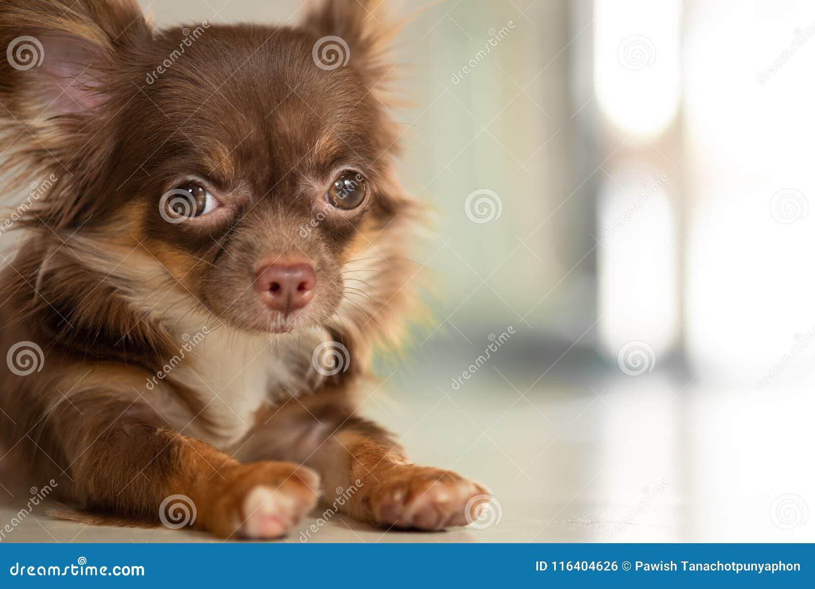 Choklad - brun färgchihuahuahund som ligger på det jordinomhus Het