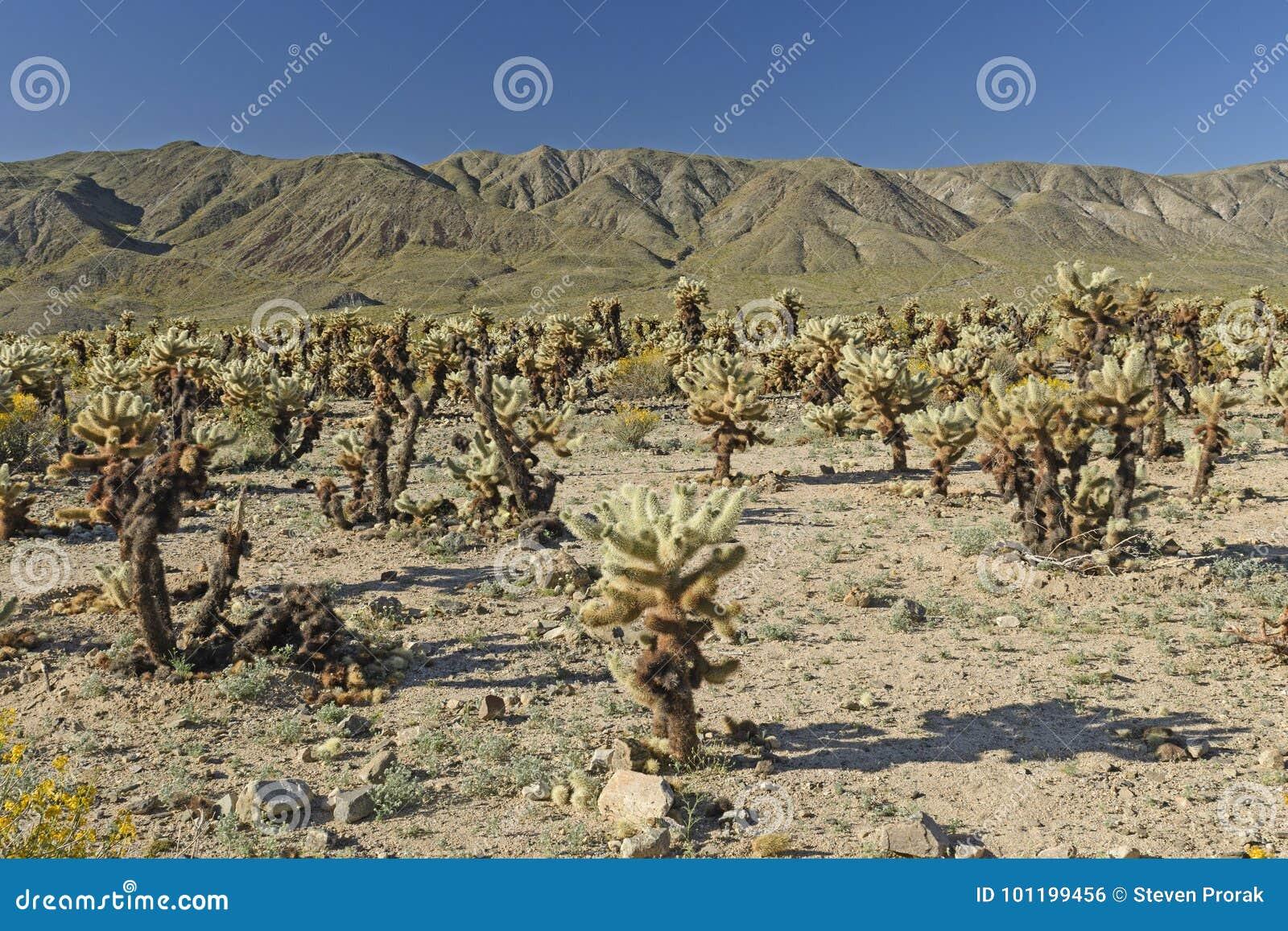 Cholla庭院在沙漠