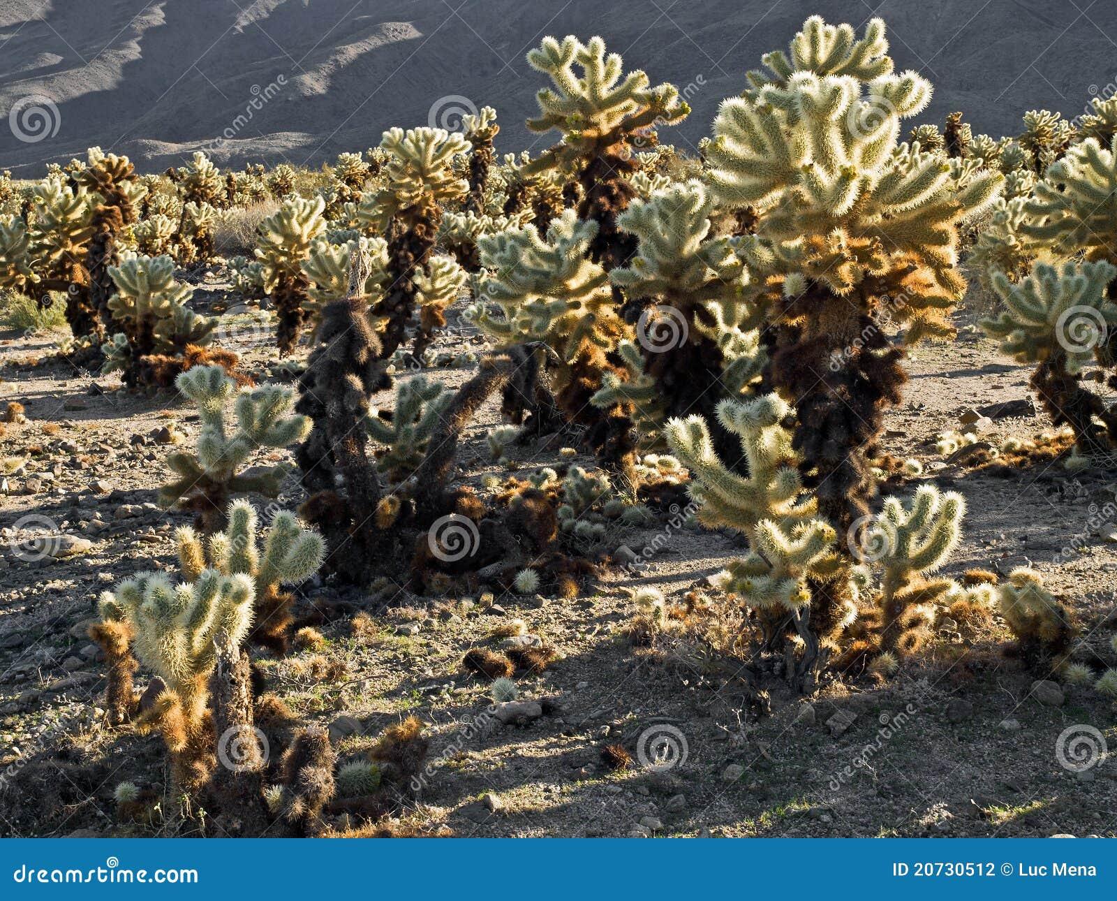 Cholla Cactus Garden In Joshua Tree National Park Stock Photography Image 20730512